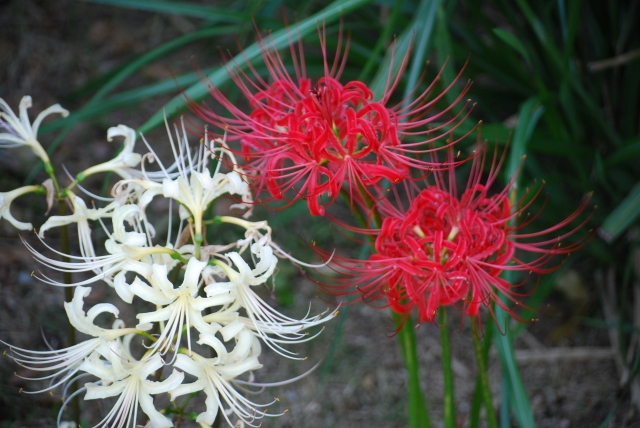 赤と白のヒガンバナの花
