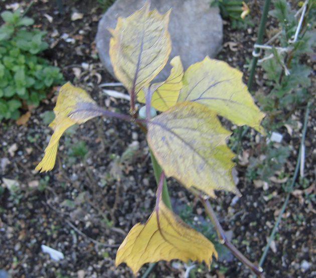 ホオズキの葉