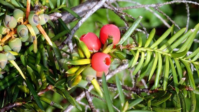 イチイの赤い実