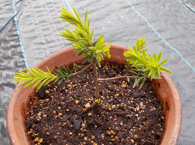 イチイを鉢に植え付ける