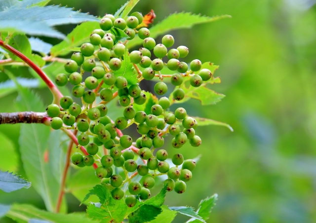 ナナカマドの緑の実