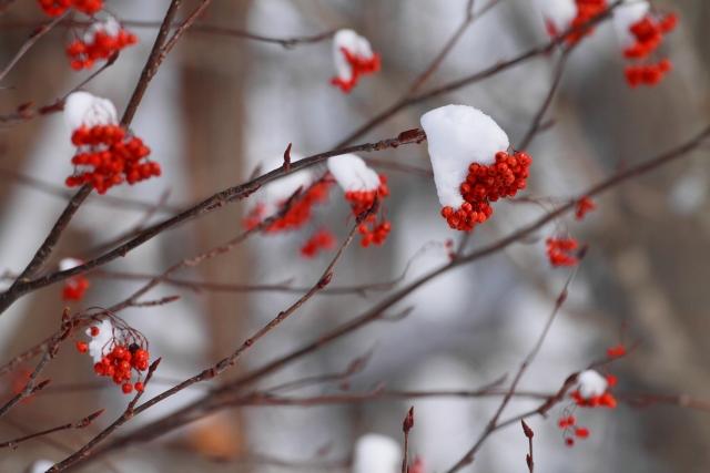 ナナカマドの実に積もった雪