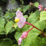 シュウカイドウの花
