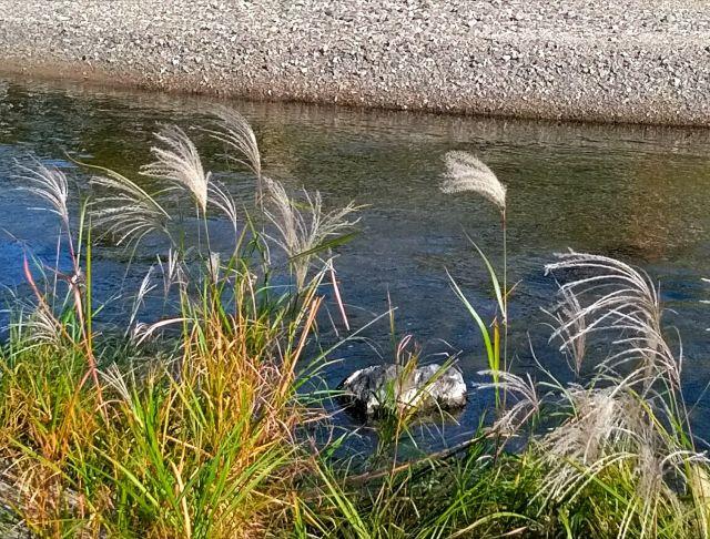 河原のススキ