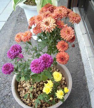 小菊の鉢植え