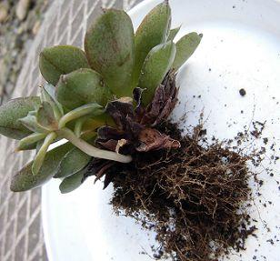 多肉植物 大和美尼(ヤマトミニ)
