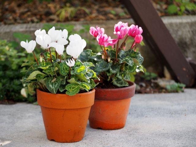 ガーデンシクラメンの鉢植え