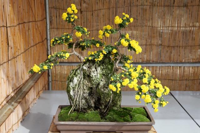 小菊の盆栽