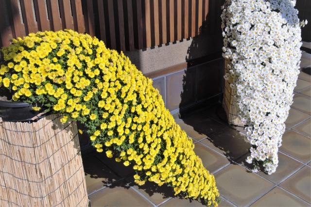 懸崖仕立ての小菊