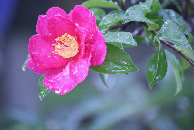 雨にぬれた山茶花の花