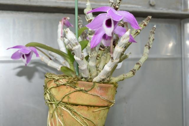 デンドロビウムの鉢植え
