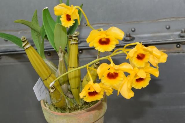 デンドロビウム(デンドロビューム)の花