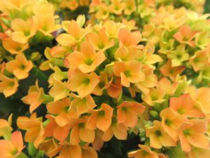 黄色のカランコエの花