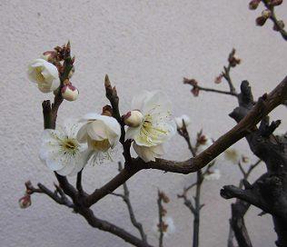 自宅の白梅の鉢植え