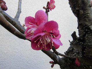 自宅の鉢植えの紅梅