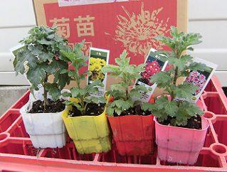 豊幸園から購入した菊の苗