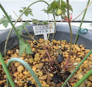 鉢植えのゲラニウム(フウロソウ)