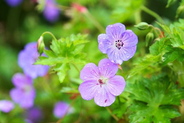 ゲラニウムの花
