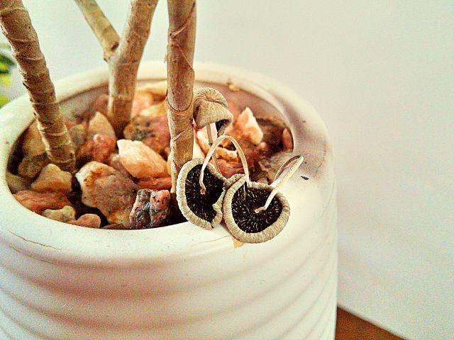 鉢植えに生えたキノコ