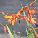 朱赤のヒメヒオウギスイセン(姫檜扇水仙)の花
