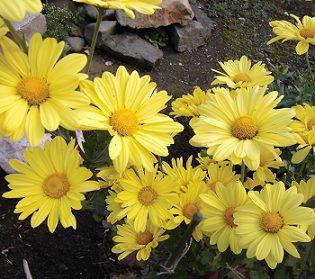黄色のスプレー菊