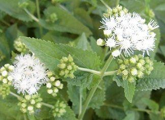 ユーパトリウム(セイヨウフジバカマ)の白い花