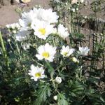 夏菊の白い花