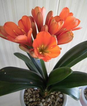 クンシラン開花
