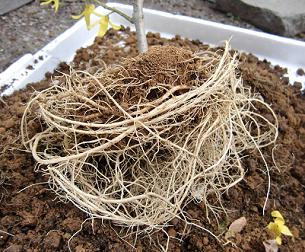 鉢植えのレンギョウの根