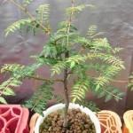 鉢植えのサンショウ