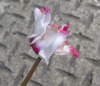 茶色のシミがあるシクラメンの花