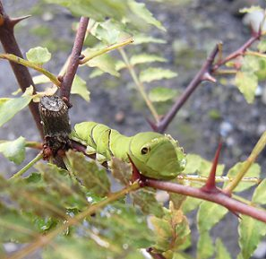 サンショウの鉢植えに青虫発見