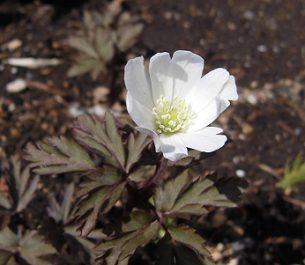 スプリング・エフェメラル キクザキイチゲの白い花