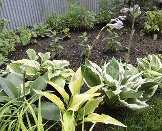 庭植えのギボウシ