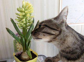 ヒヤシンスと我が家の猫