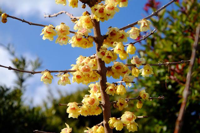 ロウバイ(蝋梅)の花