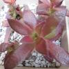 春に紅葉。多肉植物 アカオニジョウと火祭り