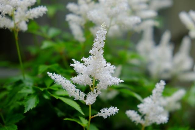 アスチルベ白花