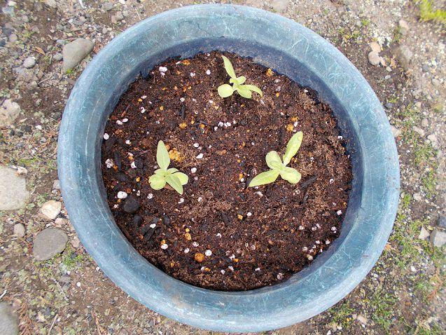 ミニひまわりの鉢植え