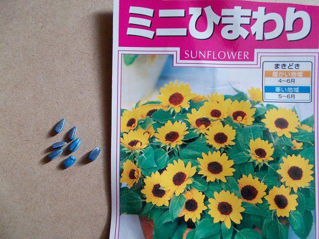 ミニひまわり「小夏」の種