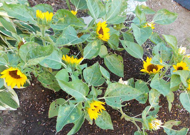 開花中のミニひまわり