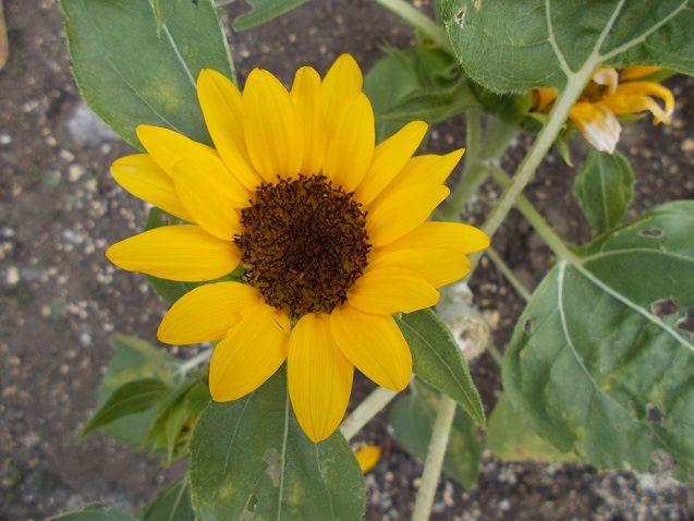 ミニひまわり「小夏」の花