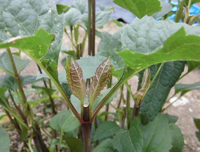 ルドベキアの脇芽