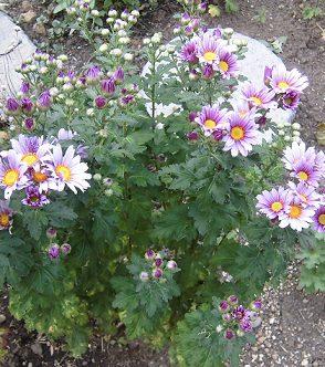 菊の花(はるか)