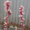 ベンケイソウ科の多肉植物、開花。花が咲いた後はどうする?