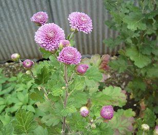 ポンポン菊開花