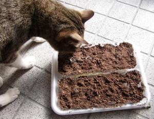 マンリョウの実を植える