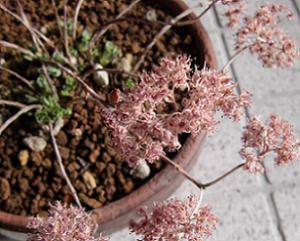 ドライフラワー化したミセバヤの花