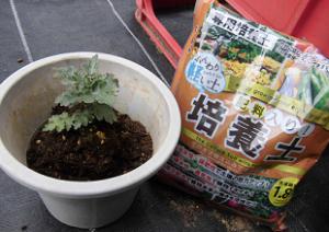 二度咲き菊の鉢植え