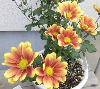 2回目の開花